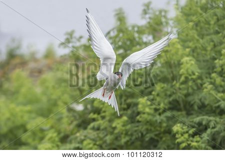 Arctic tern, Sterna paradisaea, flying close up