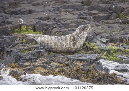 Grey seal Halichoerus grypus lying on rocks with the sea in front