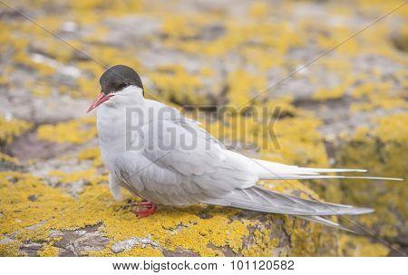 Arctic tern Sterna paradisaea standing on a rock