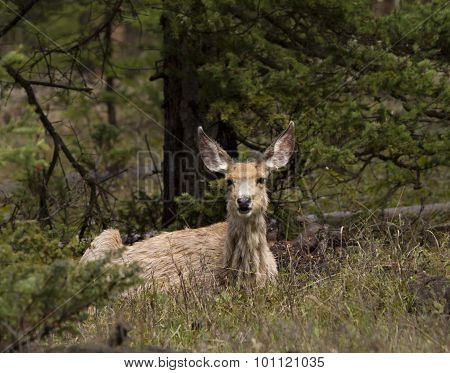 Mule Deer Relaxing