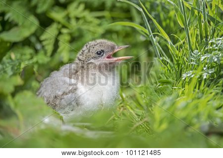 Arctic tern Sterna paradisaea juvenile sitting in some leaves squawking