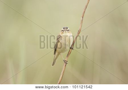 Sedge warbler perched on a single twig
