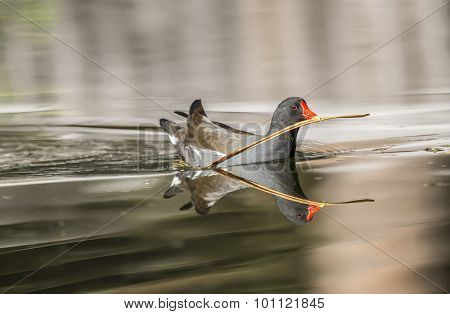 Moorhen Gallinula chloropus on a pond carrying a twig