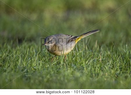 Grey Wagtail Motacilla cinerea standing on grass looking for food