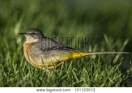 Grey Wagtail Motacilla cinerea standing on grass looking for food close-up