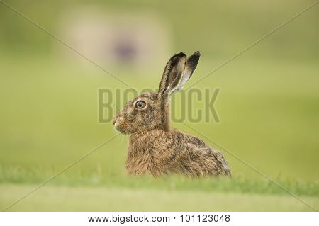 Brown Hare, Lepus, in the grass, portrait, close up