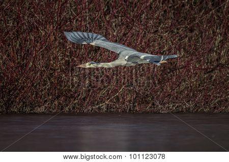 Grey Heron Ardea cinerea flying across a frozen pond