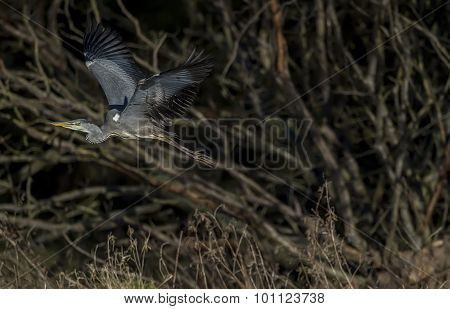 Heron Ardea cinerea flying in front of some trees