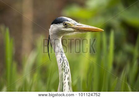 heron, Ardea Cinerea, portrait shot close up