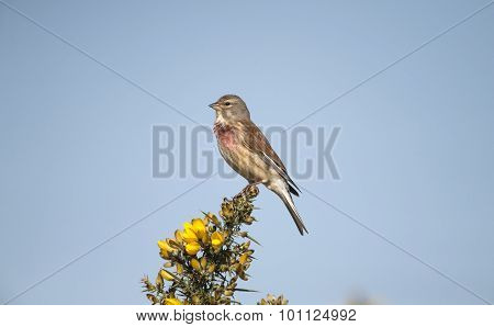 A male Linnet, Carduelis cannabina, on gorse bush