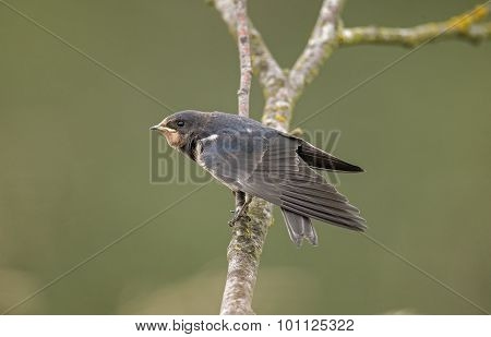 Swallow Hirundo rustica perched on a branch wings open