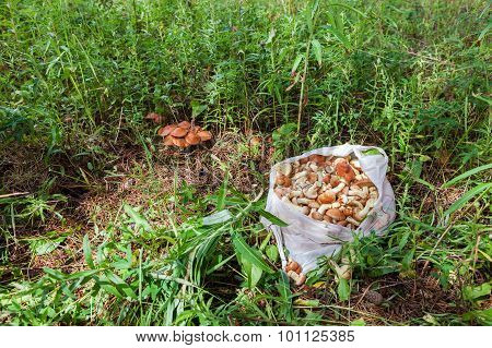 Forest Edible Mushrooms In The Green Grass