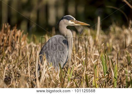 Grey Heron Ardea cinerea sitting in the reeds