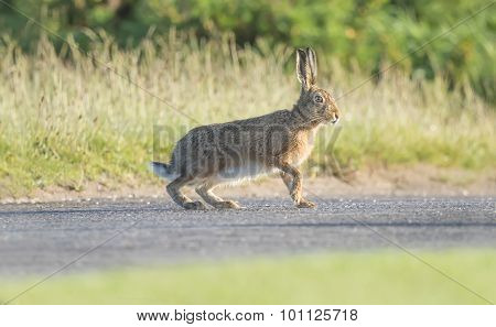Brown Hare walking on a path in the Spring