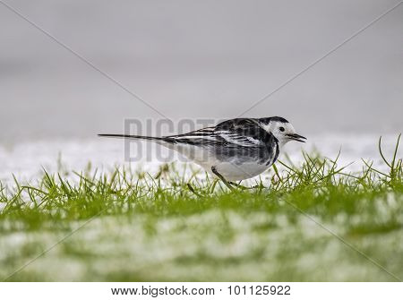 Pied wagtail Motacilla alba standing on the icy ground looking for food tweeting