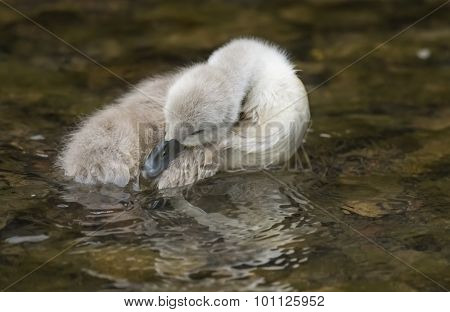 Cygnet floating in the river close up grooming itself