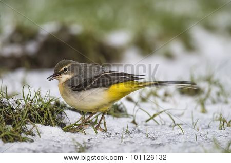 Grey Wagtail Motacilla cinerea standing on snow eating