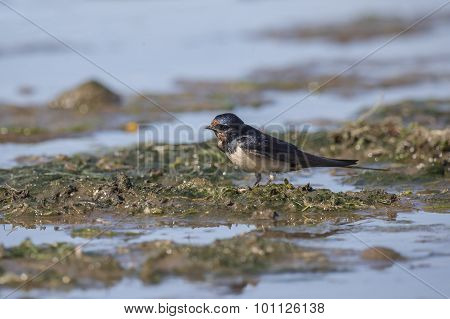 Swallow Hirundo rustica collecting nest building material on the beach