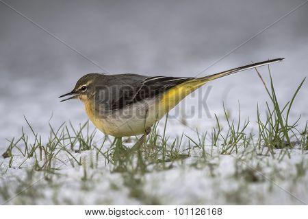 Grey Wagtail Motacilla cinerea standing on snow tweeting