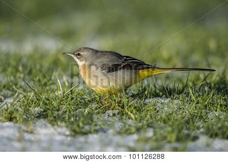 Grey wagtail on frosty grass in the Winter