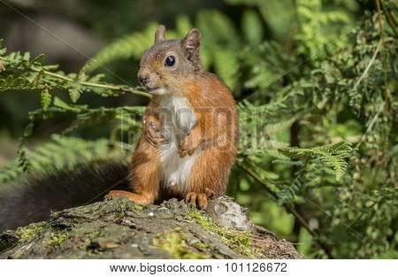 Red squirrel Sciurus vulgaris sitting on a tree trunk looking curious