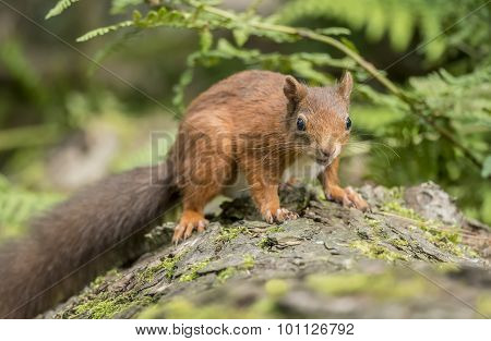 Red squirrel Sciurus vulgaris sitting on a tree trunk looking interested