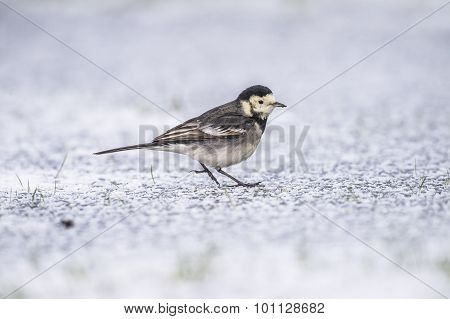 Pied Wagtail on icy ground in the Winter