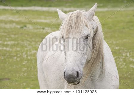 A white horse in a field facing forwards headshot
