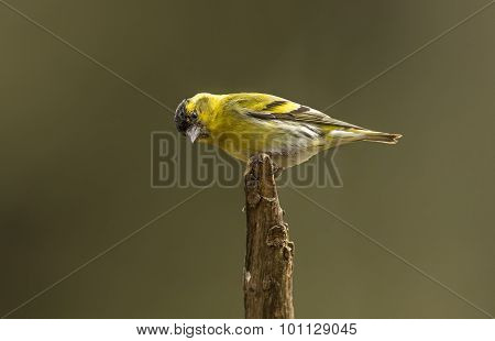 Siskin Carduelis spinus male perched on a branch