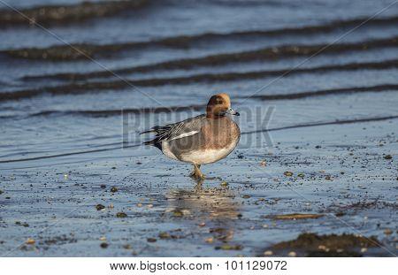 Wigeon Anas penelope walking on the shoreline