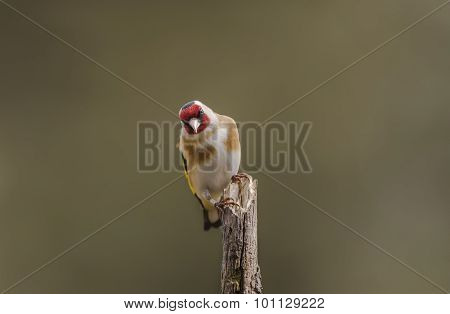 Goldfinch Carduelis carduelis perched on a branch