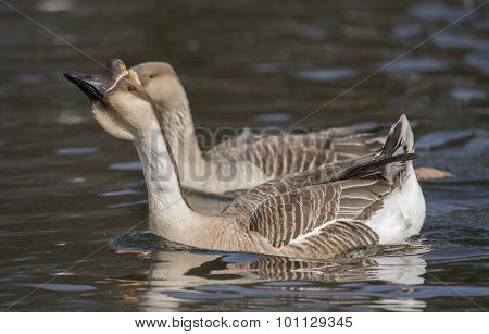 Swan goose-Anser cygnoides swimming on a loch