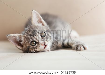 Cute gray kitten on sofa at home