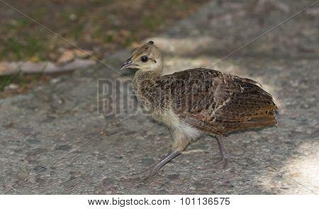 Baby peacock - peafowl, Pavo cristatus- chick