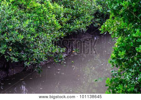 Beautiful green mangrove forest at low tide.