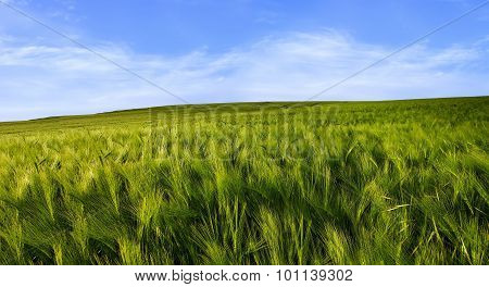 Barley Field With Blue Sky