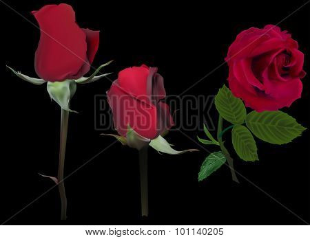 illustration with rose flowers isolated on black background