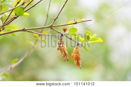 chrysalis hanging on the branch