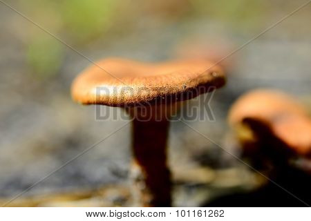 Close-up picture of poisonous mushroom in nature