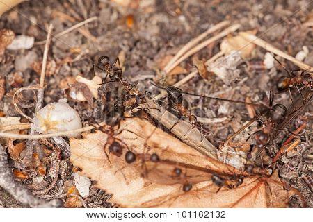 Ants Eat Mosquito