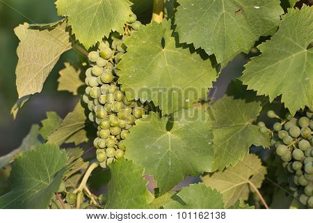 White Wine Grape Treated By Spraying