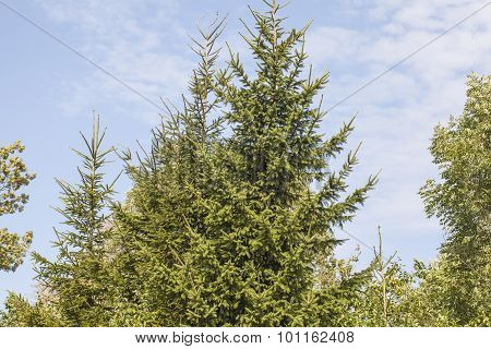 Coniferous Tree Crown And Sky