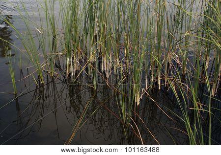 Green Reed Grass.