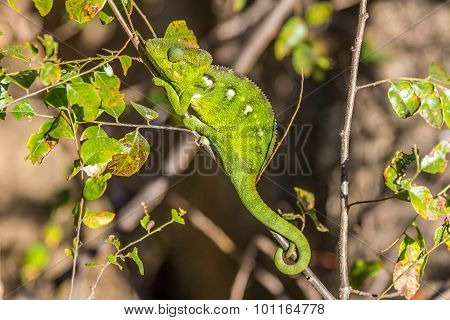 Green Chameleon In Anja Nature Reserve