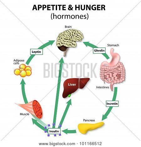 Hormones Appetite & Hunger