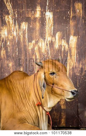 Cow Brown With Rust Wall.