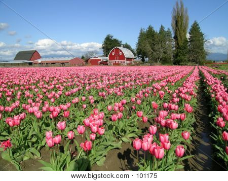 Tulpen und Scheune