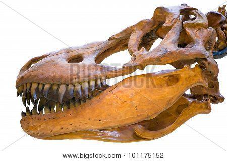 Closeup Of The Skull Of Tyrannosaurus Rex Isolated