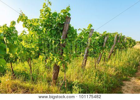 Blauer Portugeiser Grapes In Vineyard