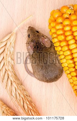 Top View Of House Mouse (mus Musculus) Along Seeds